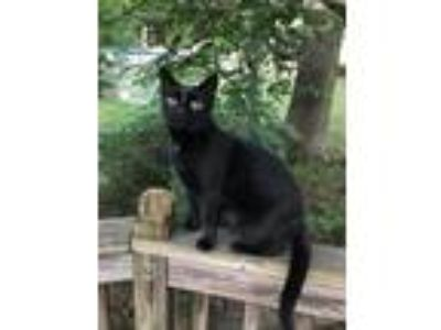 Adopt Lucy a Black (Mostly) Domestic Shorthair (short coat) cat in Monroe