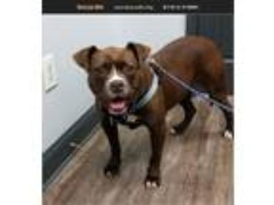 Adopt Lucy a Red/Golden/Orange/Chestnut Boxer / Pit Bull Terrier / Mixed dog in