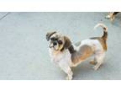 Adopt NIKKI a Brown/Chocolate - with Black Shih Tzu / Mixed dog in Rancho