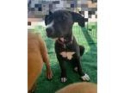 Adopt Brisa a Black - with White Retriever (Unknown Type) / Labrador Retriever /