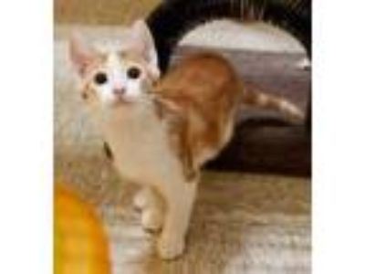 Adopt Plankton a White Domestic Shorthair / Domestic Shorthair / Mixed cat in