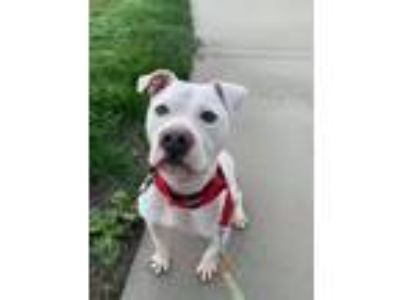 Adopt Nova a White Staffordshire Bull Terrier / Mixed dog in Los Banos