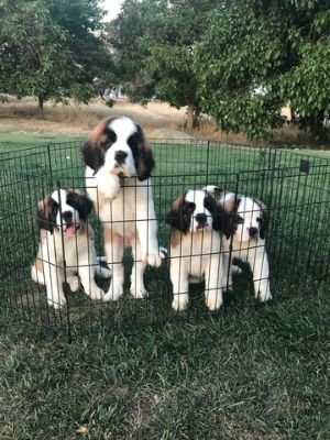Saint Bernard PUPPY FOR SALE ADN-78210 - AKC Saint Bernard Puppies Champion Bloodlines