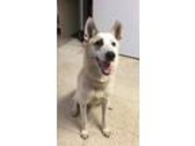 Adopt Antonio a Husky / Mixed dog in Chillicothe, OH (25622782)