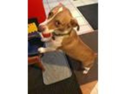 Adopt Bruno a Corgi, Jack Russell Terrier