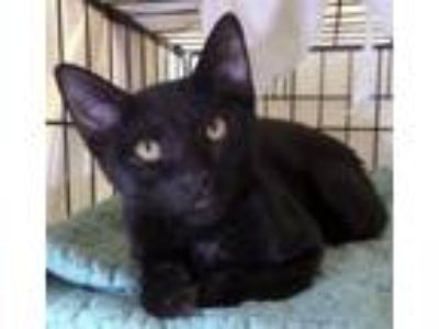 Adopt Lil` Ricky a Domestic Short Hair