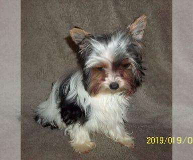Biewer Terrier PUPPY FOR SALE ADN-129825 - Biewer Yorkie