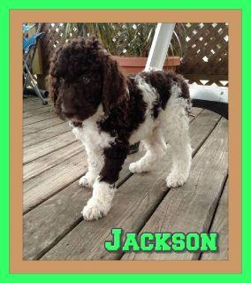 Jackson Male CKC Labradoodle