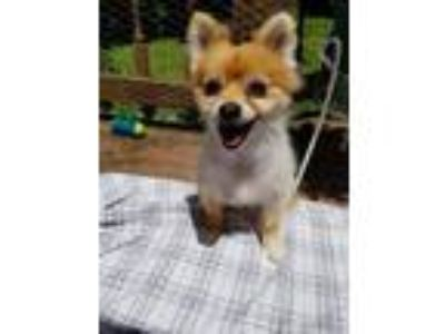 Adopt Foxie a Red/Golden/Orange/Chestnut Pomeranian / Mixed dog in Blackwood