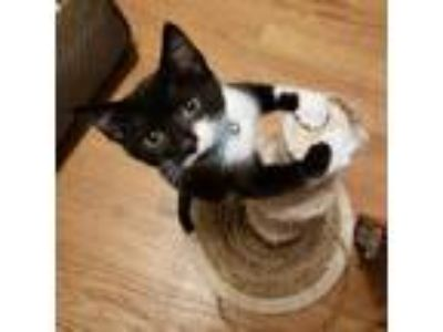 Adopt Emmy a Black & White or Tuxedo Domestic Shorthair / Mixed (short coat) cat