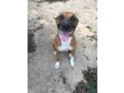 Adopt Bo a Red/Golden/Orange/Chestnut - with White Boxer / Labrador Retriever /