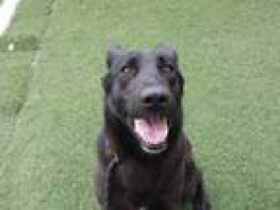 Adopt THANOS a Black - with White German Shepherd Dog / Mixed dog in STOCKTON