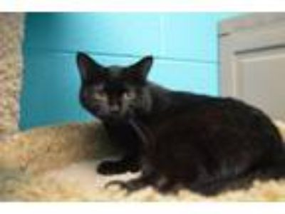 Adopt Marty a Domestic Long Hair