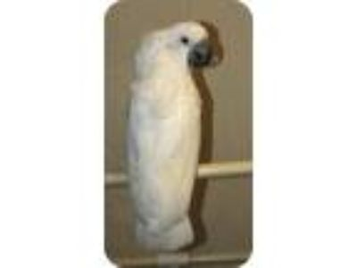 Adopt Caesar a Cockatoo bird in Northbrook, IL (9451234)