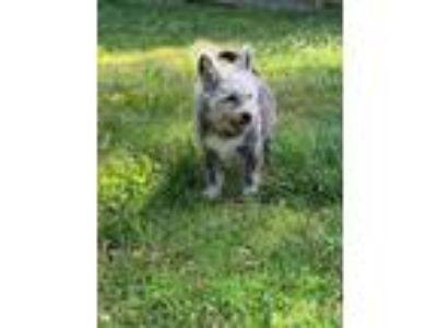 Adopt Toto a Yorkshire Terrier, Pit Bull Terrier