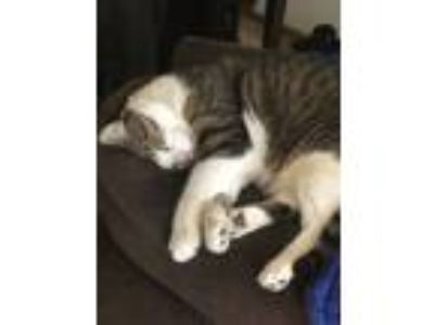 Adopt Rocky a Calico or Dilute Calico American Shorthair cat in Union Grove
