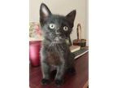 Adopt Broadway Kitten a All Black Bombay / Mixed (short coat) cat in Knoxville