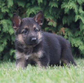 German Shepherd Dog PUPPY FOR SALE ADN-89374 - Amazing AKC German  Shepherd Puppies