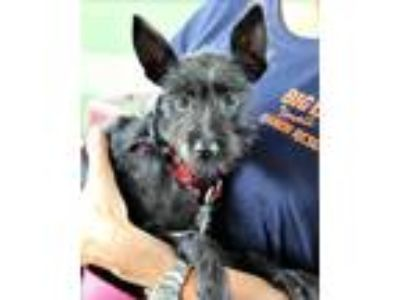 Adopt Negri a Black Schnauzer (Miniature) / Mixed dog in Loxahatchee