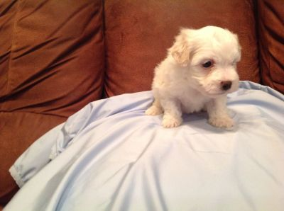 Registered male Maltese  puppy for sale