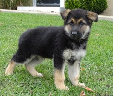Adorable German Shepherd Puppies Available