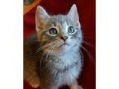 Adopt Versace a Domestic Short Hair, Tiger