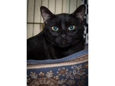 DISCO'S A 2YR OLD MALE KITTY! BLACK, ...