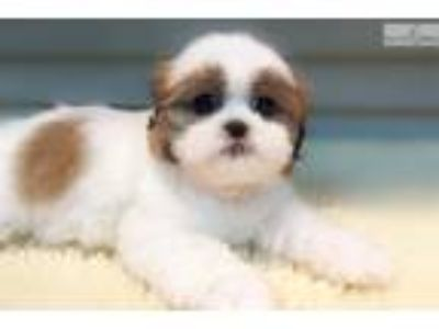 Shih Tzu $1299 (Empire Puppies)