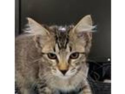Adopt Piper a Domestic Shorthair / Mixed cat in Houston, TX (25940229)