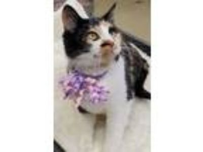 Adopt EMILY a Calico or Dilute Calico Domestic Shorthair (short coat) cat in