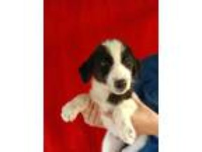 Adopt Angel Soft a Border Collie