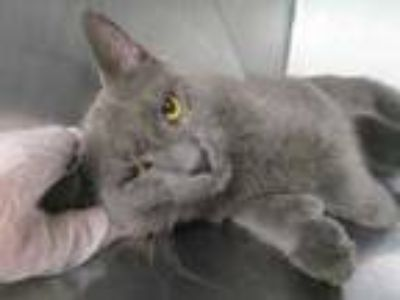 Adopt Fisher a Gray or Blue Domestic Shorthair / Domestic Shorthair / Mixed cat