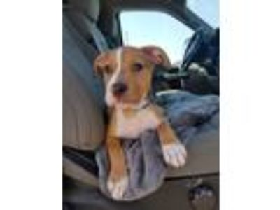 Adopt Beric a Red/Golden/Orange/Chestnut - with White American Pit Bull Terrier