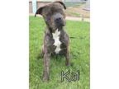 Adopt Kai a Brindle Pit Bull Terrier / Mixed dog in Tremont, IL (25334245)