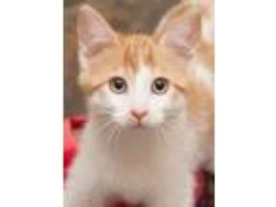 Adopt Macavity a Domestic Short Hair