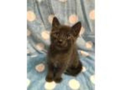 Adopt Donut KITTEN SHOWER ATTENDEE a All Black Domestic Shorthair / Domestic