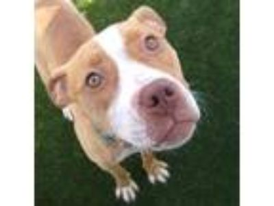 Adopt Baby Girl a Tan/Yellow/Fawn American Pit Bull Terrier / Mixed dog in