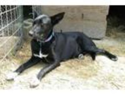 Adopt Maggie a Black German Shepherd Dog / Mixed dog in Morton Grove