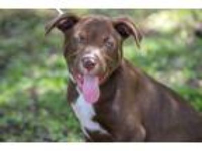Adopt Yeti a Brown/Chocolate - with White Labrador Retriever / Mixed dog in