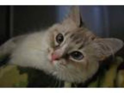 Adopt Gracey a Cream or Ivory Siamese / Domestic Shorthair / Mixed cat in