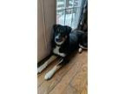 Adopt Zoey a Black - with Gray or Silver Husky / Mixed dog in Kenmore