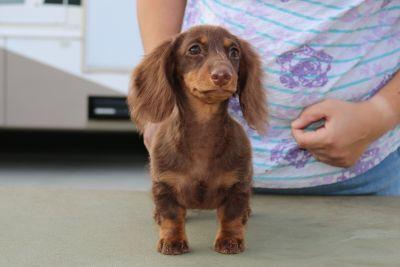 Dachshund Puppy Miniature Longhair