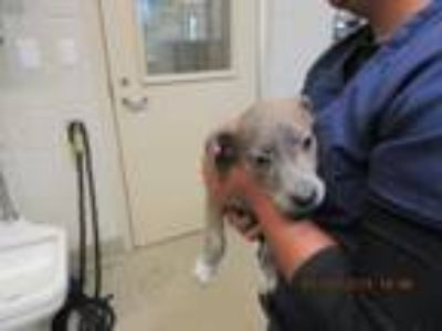 Adopt Sneezy a Catahoula Leopard Dog, Mixed Breed
