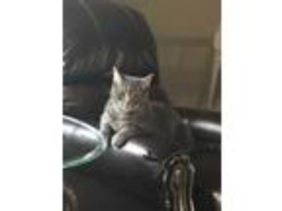 Adopt Lavendar / Alice a Gray or Blue Domestic Mediumhair cat in Lees Summit