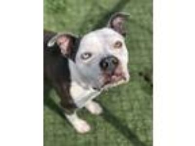 Adopt Brock a Gray/Silver/Salt & Pepper - with Black American Pit Bull Terrier /
