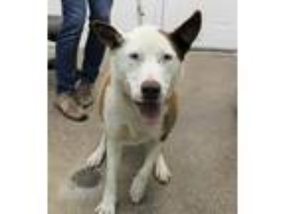 Adopt Nitro a Red/Golden/Orange/Chestnut Mixed Breed (Medium) / Mixed dog in