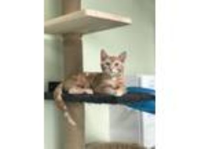 Adopt Mimolette a Orange or Red Domestic Shorthair / Mixed (short coat) cat in