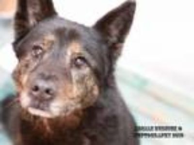 Adopt GUSTEAU a German Shepherd Dog, Mixed Breed
