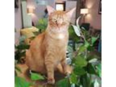 Adopt Nigel a Orange or Red Domestic Shorthair / Domestic Shorthair / Mixed cat