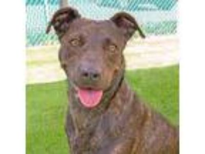 Adopt Evie a Brindle Labrador Retriever / American Pit Bull Terrier / Mixed dog